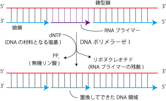 RNAプライマーの置換_01