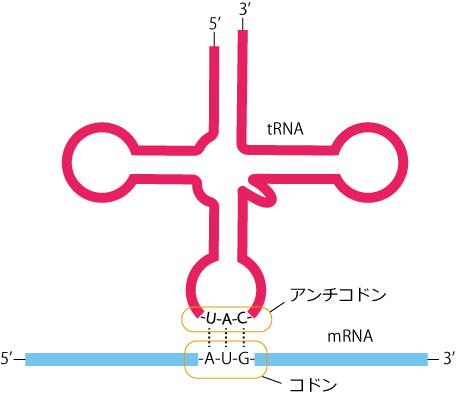 tRNAとmRNA