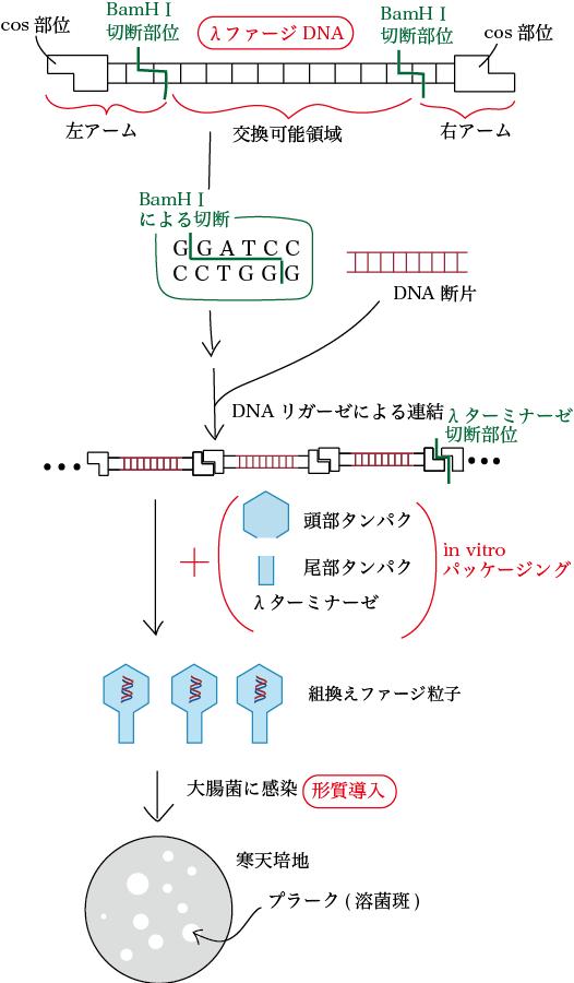 λファージベクターによる形質導入