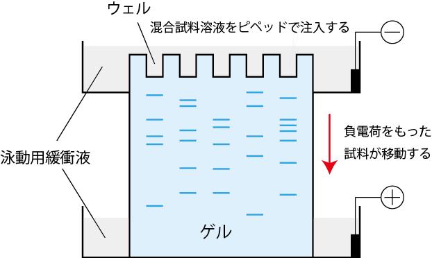 ゲル電気泳動図