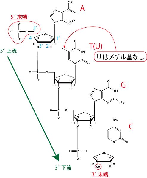 核酸の化学構造