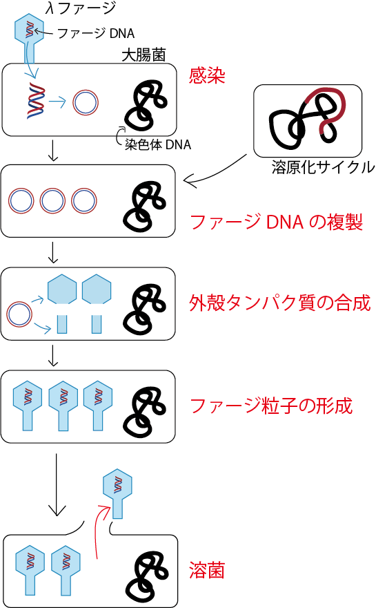 溶菌サイクル