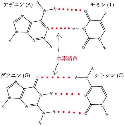 A-TとG-Cの水素結合