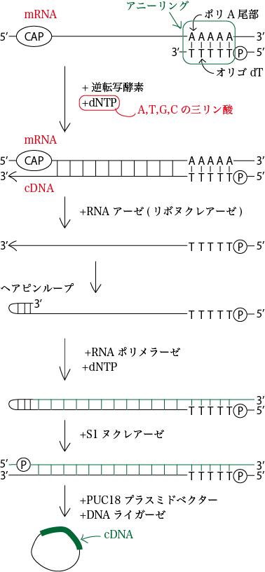 cDNAクローニング