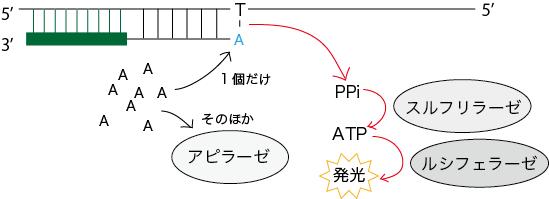 パイロシークエンス法