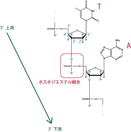 DNAのホスホジエステル結合
