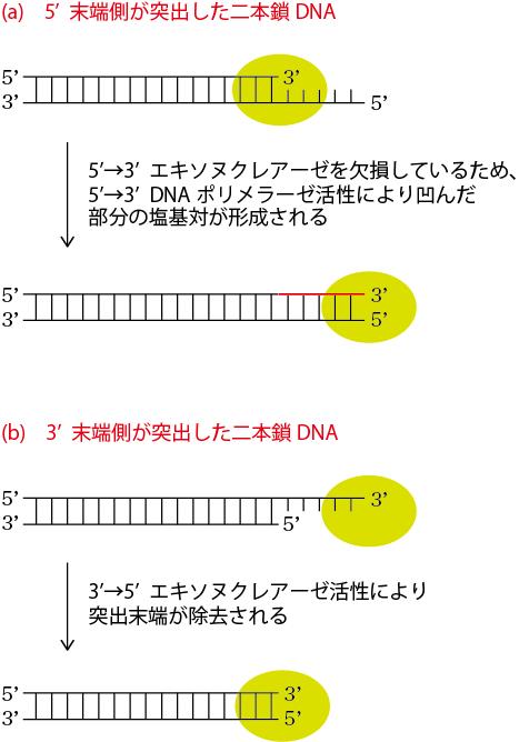 クレノウ断片・T4DNAPolの利用