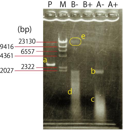 プラスミドDNAのアガロースゲル電気泳動図