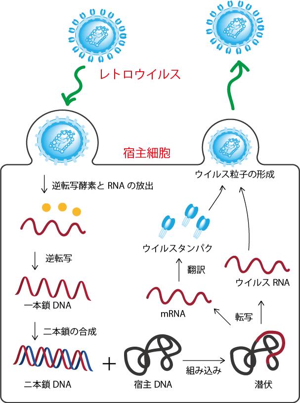 レトロウイルスの生活環