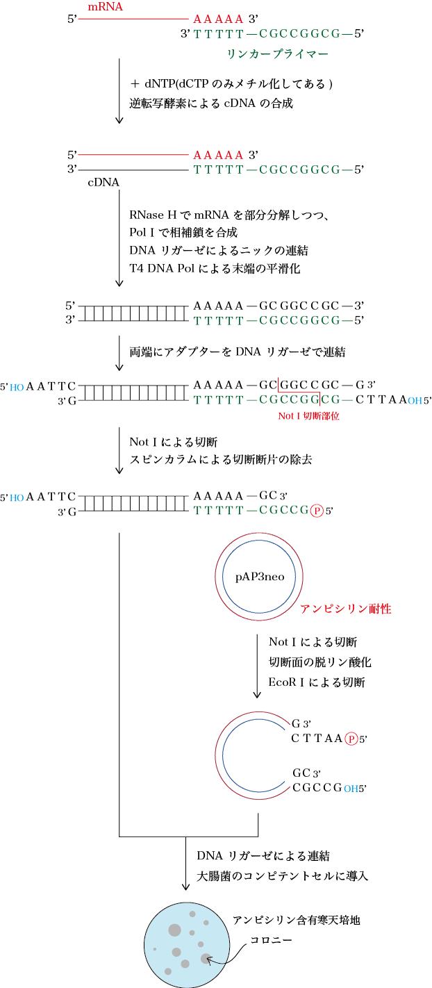 cDNAライブラリー作成法