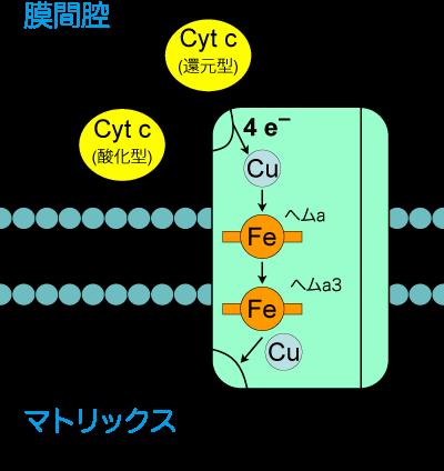 シトクロムc酸化酵素