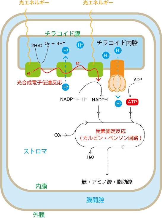 光合成の代謝経路