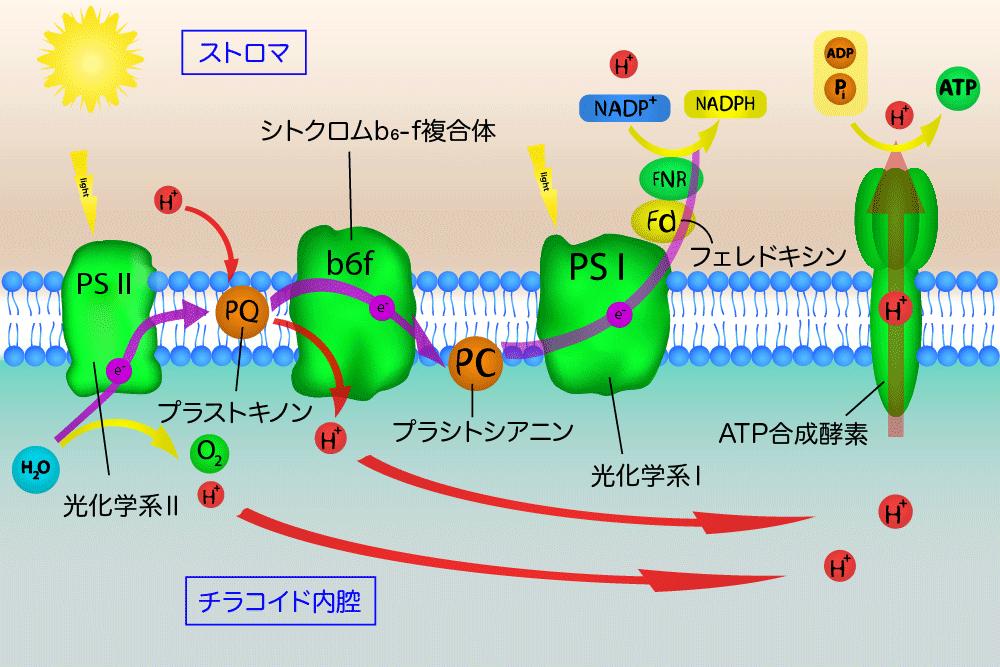 光合成電子伝達反応