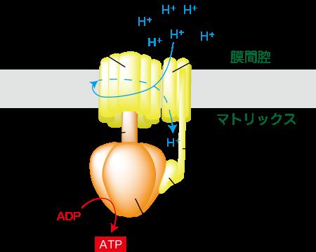 ATP合成酵素