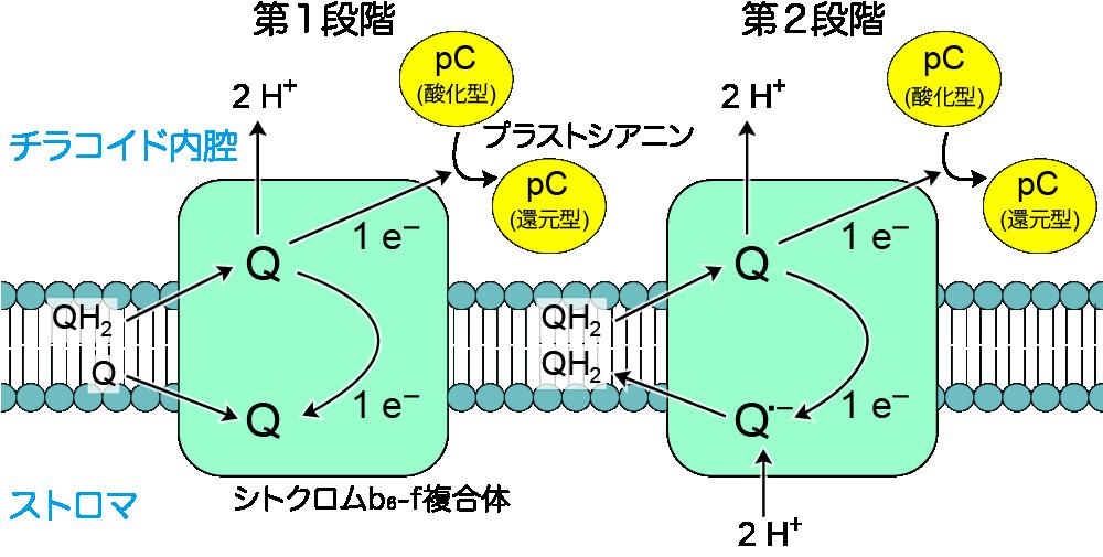 Qサイクル(葉緑体)
